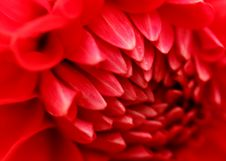 Free Macro Photography Of Red Dahlia Flower Stock Images - 104210334
