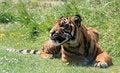 Free Tiger Cub Animal Royalty Free Stock Photo - 10432215