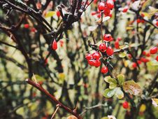Free Close-up Photo Of Red Berries Royalty Free Stock Photography - 104366807