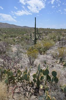 Tall Saguaro And Prickly Pear Cactus