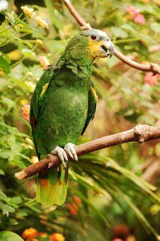 Free Amazon Parrot Stock Photos - 10446113