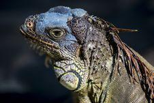 Free Reptile, Iguana, Iguania, Scaled Reptile Royalty Free Stock Image - 104425076