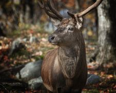 Free Tilt Shift Lens Photography Of Deer Royalty Free Stock Photography - 104450087