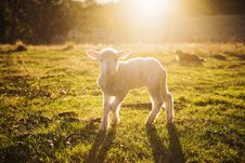 Free Shallow Focus Photography Of White Sheep On Green Grass Royalty Free Stock Photography - 104512737