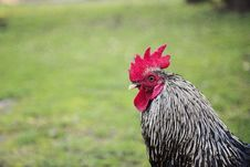 Free Portrait Of Black And White Rooster Royalty Free Stock Image - 104512766