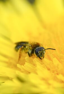 Wasp Collect Pollen On Yellow Dandelion Macro Photo Vertical Stock Images