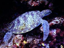 Free Underwater Photography Of Brown Sea Turtle Royalty Free Stock Images - 104635679