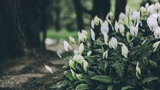 Free White Anthorium Flowers Near Brown Soil In Tilt Shift Lens Photography Royalty Free Stock Photography - 104635687