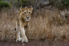 Free Photography Of Young Lion Stock Image - 104635751