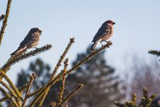 Free Two Sparrows On Branch Close-up Photography Stock Photos - 104712363