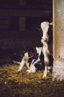 Free Two White-and-black Cows Inside Shed Royalty Free Stock Photo - 104712525