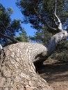 Free Twisted Gnarly Tree Royalty Free Stock Photo - 1051775