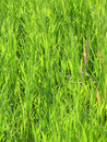 Free Green Grass Background Royalty Free Stock Photography - 1052877