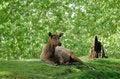 Free Elk Stock Photography - 1054532