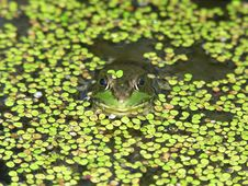 Free Frog Face Royalty Free Stock Image - 1050086