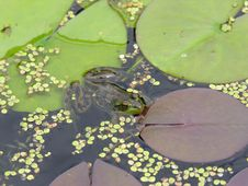 Frog Resting On Lilypad Royalty Free Stock Photography