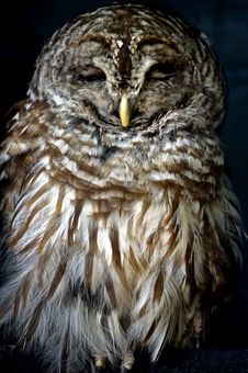 Free Bird - Barred Owl (Strix Varia) Stock Image - 1050711