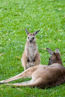 Free Mother And Joey Royalty Free Stock Image - 1050816