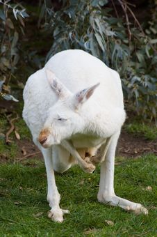 Free Mature Albino Kangaroo Stock Photos - 1051083