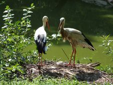 Free Storks Stock Image - 1051191