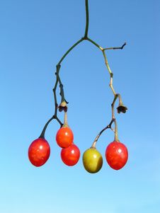Berries Of A River Liane. Stock Image
