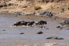 Free Wildebeest Migration Royalty Free Stock Photography - 1052167