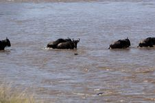 Free Wildebeest Migration Royalty Free Stock Images - 1052169