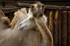 Free Camels Royalty Free Stock Image - 1052186