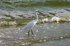 Free Little Egret Royalty Free Stock Images - 1052999