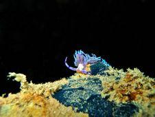 Free Nudibranch Royalty Free Stock Image - 1053216
