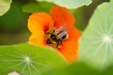 Free A Bumblebee Stock Image - 1053221