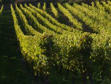 Free Alsacian Vineyards Royalty Free Stock Images - 1053499