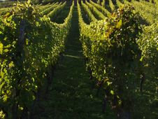 Free Alsacian Vineyards Stock Photo - 1053500