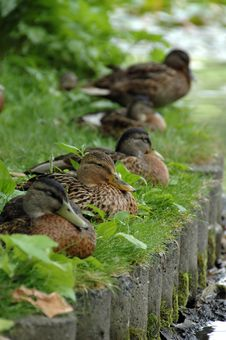 The Ducks Stock Photos