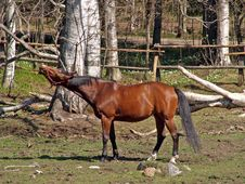 Free A Squealing  Horse Royalty Free Stock Image - 1053996
