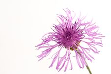 Free Flower Of A Thistle Royalty Free Stock Photo - 1054025