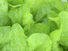 Free Lettuce Royalty Free Stock Photography - 1054537