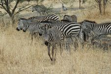 Free Herd Of Zebra Royalty Free Stock Photos - 1054928