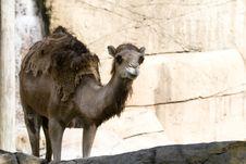 Free Camel Royalty Free Stock Photo - 1054955