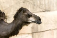 Free Camel Royalty Free Stock Images - 1054959