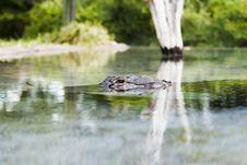 Free Alligator Stock Photo - 1054960