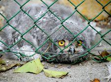Free Owl Nestling 2 Stock Images - 1055144