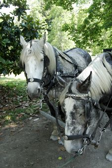 Free Carriage Horses At Hermitage Royalty Free Stock Images - 1055789