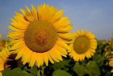 Free Sunflower Stock Images - 1057074