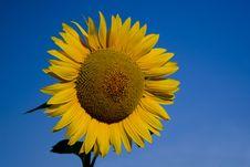 Free Sunflower On Blue Sky Royalty Free Stock Photos - 1057078