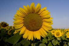 Free Sunflower Stock Image - 1057081