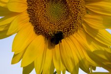 Free Part Of Sunflower Royalty Free Stock Image - 1057086