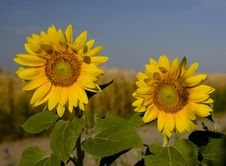 Free Two Sunflowers Royalty Free Stock Photos - 1057088