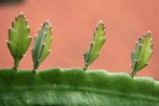 Free Aloe Vera Royalty Free Stock Images - 1057209