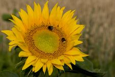 Free Sunflower On Field Royalty Free Stock Photos - 1057478